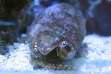 うちのマガキ貝